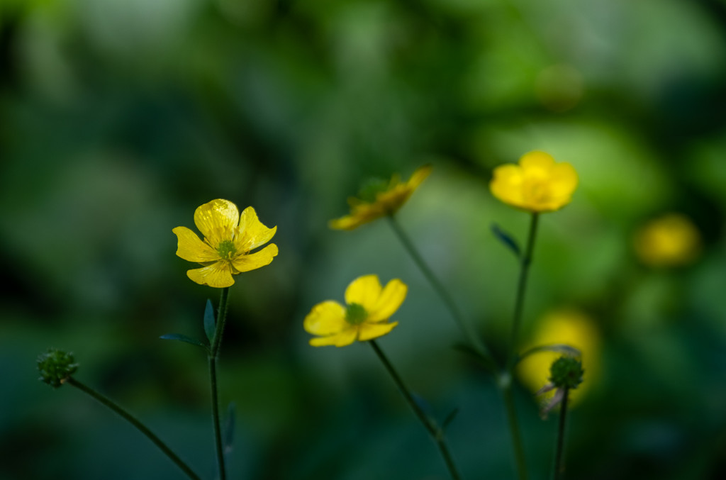Buttercups by inthecloud5
