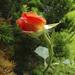 Dancing Rose SOOC