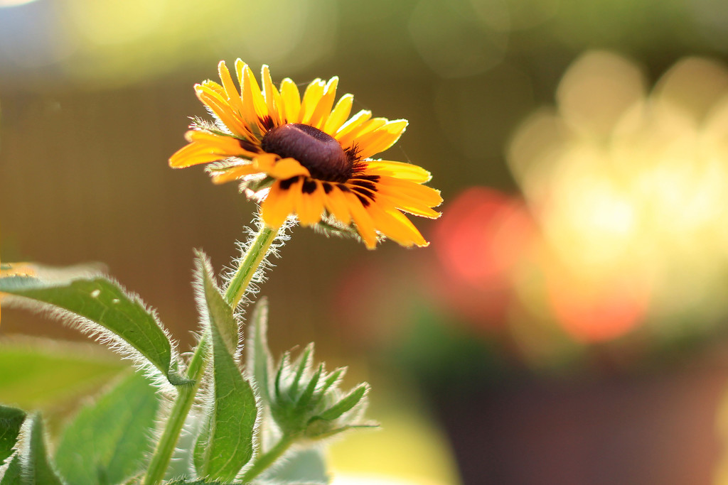 My Own Black Eyed Susan by milaniet