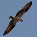 Osprey Fly Over!
