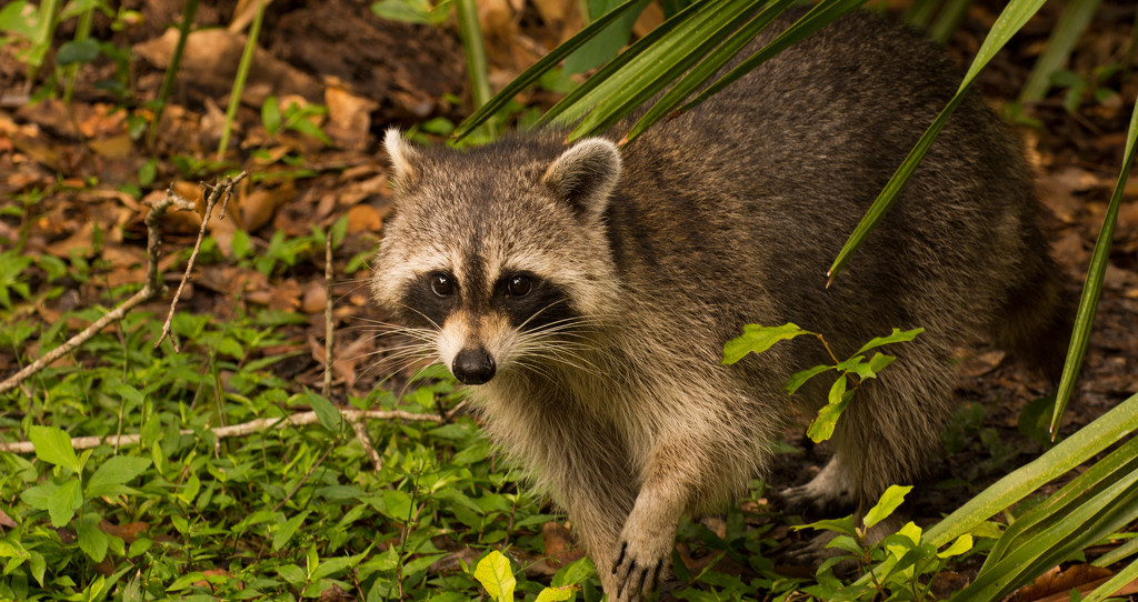 Rocky Raccoon Was Approaching! by rickster549