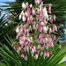 Pink Yucca