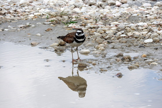 Kildeer reflection by homeschoolmom