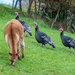 Giant Turkeys