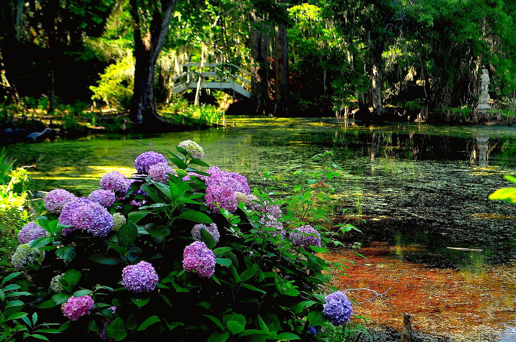Hydrangeas at Magnolia Gardens by congaree
