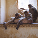 Monkeys at Taragarh Fort