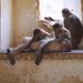 Monkeys at Taragarh Fort