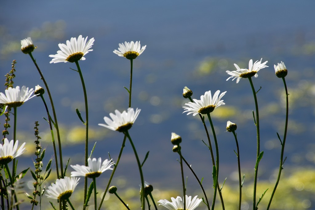 EXTRAS:  Daisies by the Lake by casablanca