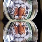 12th Jun 2018 - Tiger tiger