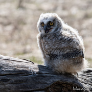 12th Jun 2018 - Great Horned Owlet
