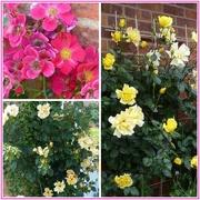 12th Jun 2018 - Roses in our Garden