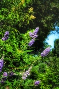 12th Jun 2018 - The neighbor's butterfly bush