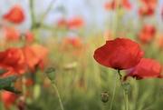 12th Jun 2018 - Wiltshire Poppies