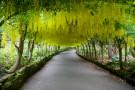 Laburnum Arch by dailydelight