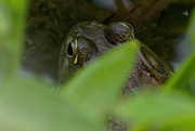 12th Jun 2018 - Frog Eyes