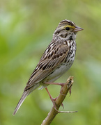 12th Jun 2018 - Savannah Sparrow