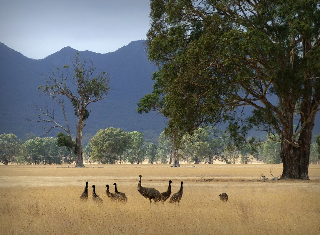 Mr Emu and chicks by judithdeacon