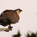 One Legged Osprey!