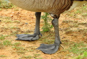 13th Jun 2018 - Goose feet!
