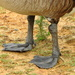 Goose feet! by homeschoolmom
