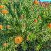 Pincushions (Leucospermum cordifolium)