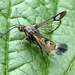 Moths of Warwickshire 2. Currant clear wing