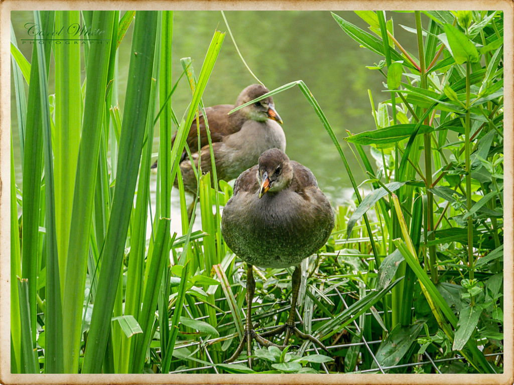 Young Coots by carolmw