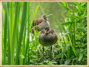 13th Jun 2018 - Young Coots