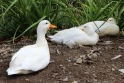 19th Apr 2018 - 2018 04 19 Quack Quack