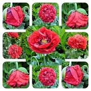 13th Jun 2018 - Poppies in my garden