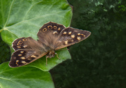 5th Jun 2018 - Speckled wood