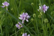 13th Jun 2018 - Crown Vetch