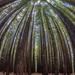 Redwood Forest - Warburton