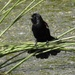 Breezy blackbird