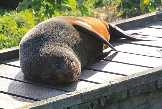 Basking seal by kiwinanna