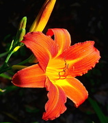 14th Jun 2018 - Day lily