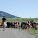 Early Morning Cattle Drive