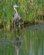 14th Jun 2018 - great blue heron