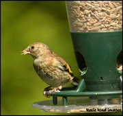 14th Jun 2018 - Young goldfinch