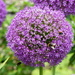 Enormous Allium ...........and bees