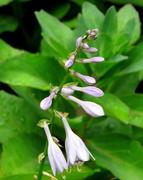 12th May 2018 - Hosta flowers