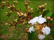 15th Jun 2018 - Crepe Myrtle in bloom