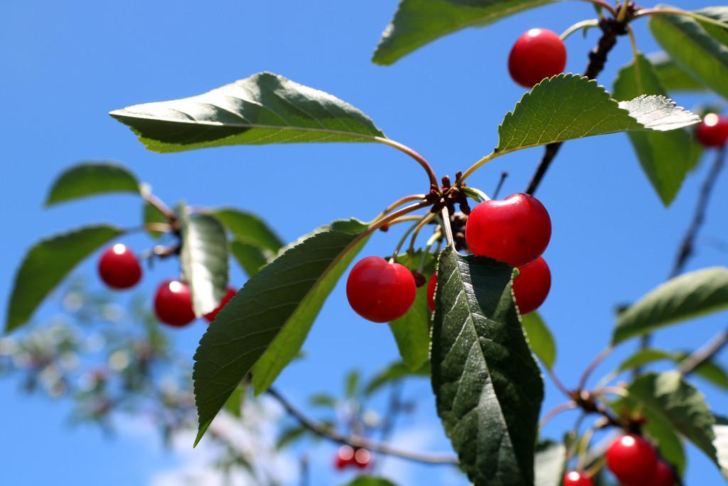 Cherry Picking Time!  by lynbonn