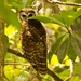 Young Barred Owl!