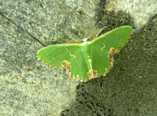 Moths of Warwickshire 3. Blotched emerald  by steveandkerry