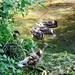 wood duck or big hoax