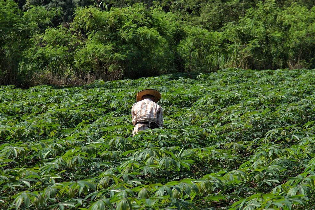 Casava Plantations by leananiemand