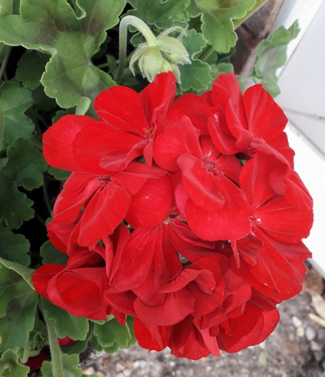 I love red geraniums by mave