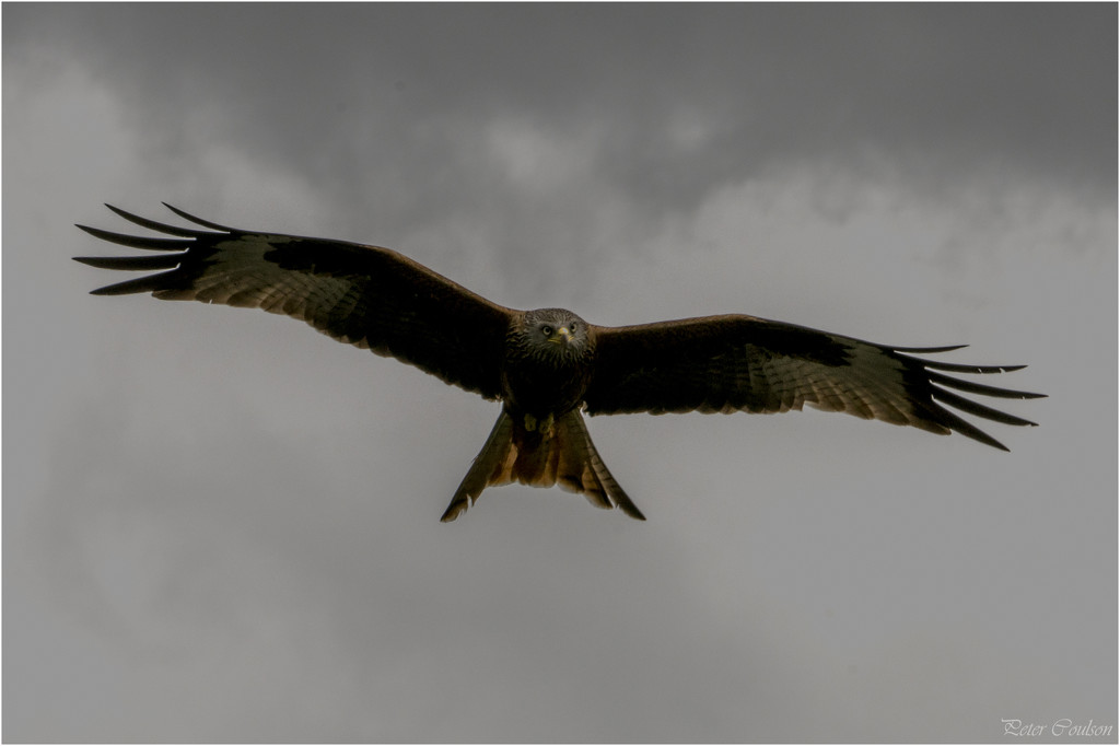 Red Kite by pcoulson