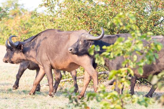 Cape Buffalo by leonbuys83